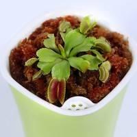 优栽 捕蝇草盆栽 大夹子 1-1.3cm 配自吸水盆
